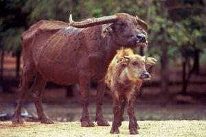 Asiatic water buffalo, Kanchanaburi