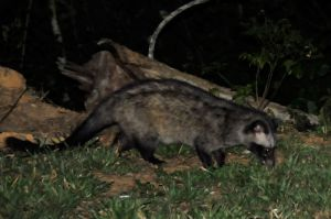 Common palm civet, Khaeng Krachan NP