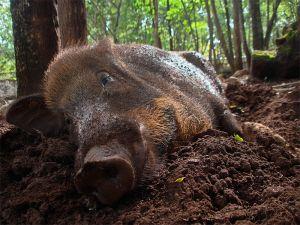 Wild boar, Kanchanaburi