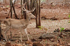 Eld's deer stag, Kanchanaburi (captive)