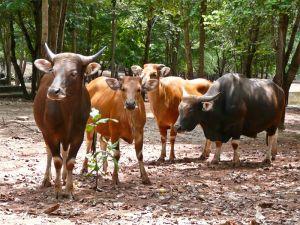 Banteng heard (captive), Kanchanaburi