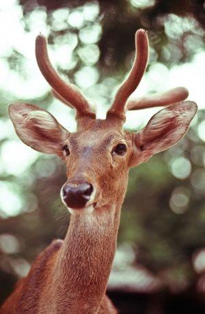 Eld's deer (captive), Kanchanaburi