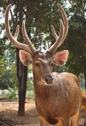 Samba deer stag (captive), Kanchanaburi
