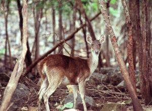 Samba doe (captive), Kanchanaburi