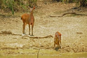 Sambar deer female and young, Khaeng Krachan NP