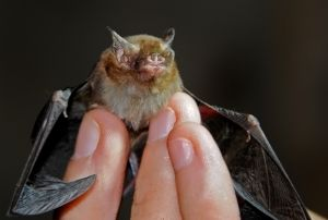 Kitti's hog-nosed or Bumblebee bat (female), Kanchanaburi