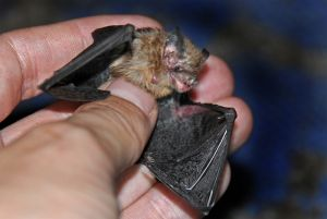 Kitti's hog-nosed or Bumblebee bat (male), Kanchanaburi