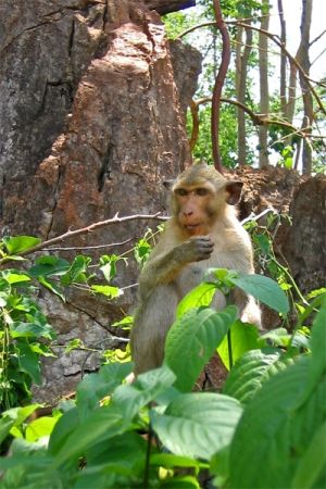 Long-tailed macaque, Kanchanaburi