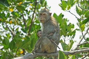 Crab-eating or Long-tailed macaques, Khao Sam Roy Yot National Park