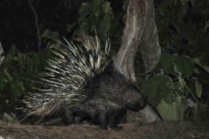 Malayan porcupine, Khaeng Krachan NP