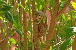 Northern tree shrew, Kanchanaburi