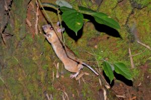 Red spiny maxomys, Thung Chag protected area