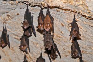 Intermediate roundleaf bats, Kanchanaburi