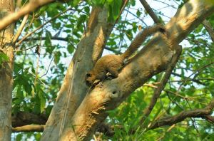 Grey-bellied squirrel,  Kanchanaburi