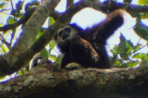 White-handed gibbon, Khao Yai National Park