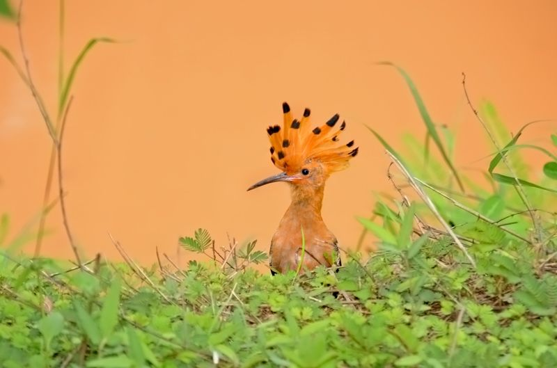 hoopoe-as-smart-object-1_0.jpg