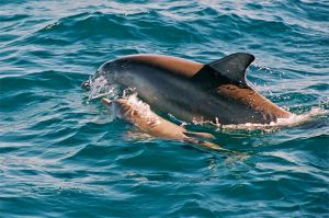 Indo-pacific dolphin with a young