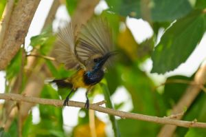 Olive-backed-sunbird-(10)-as-Smart-Object-1.jpg