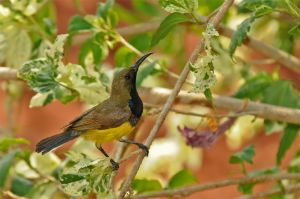 Olive-backed-sunbird-(13)-as-Smart-Object-1.jpg