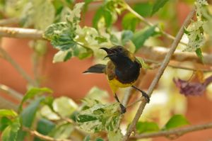 Olive-backed-sunbird-(14)-as-Smart-Object-1.jpg