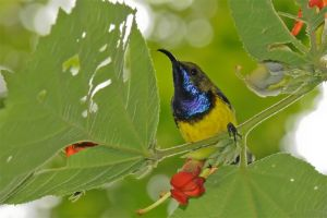 Olive-backed-sunbird-(19)-as-Smart-Object-1.jpg