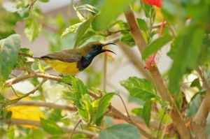 Olive-backed-sunbird-(2)-as-Smart-Object-1.jpg