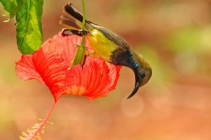 Olive-backed-sunbird-(5)-as-Smart-Object-1.jpg
