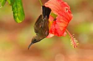 Olive-backed-sunbird-(9)-as-Smart-Object-1.jpg