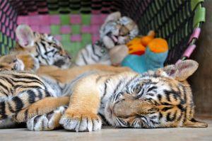4 month old cubs asleep