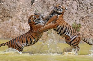 Sub adult cubs play fighting