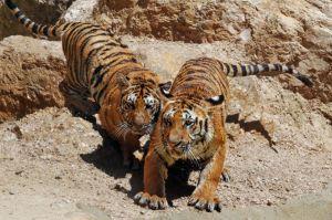 Sub adult cubs