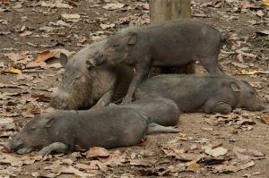 Bearded pigs, Kinabatangan River