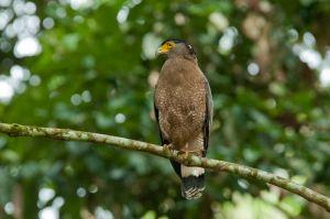 Crested Serpent eagle, Kinabatangan River