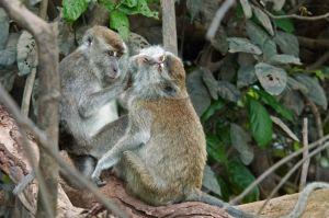 Long tailed macaque, Kinabatangan River