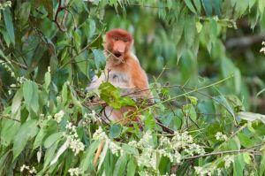 Proboscis monkey (female), Kinabatangan River