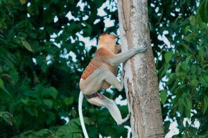 Proboscis monkey (male), Kinabatangan River