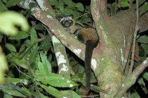 Common palm civet, Kinabatangan River