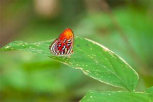 Malay Red Harlequin Butterfly, Kinabatangan River