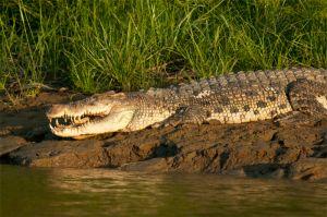 Eusterine crocodile, Kinabatangan River
