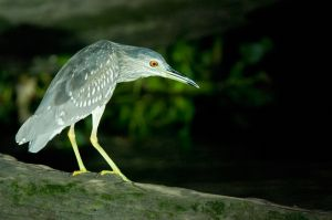 Immature Black-crowned night heron, Kinabatangan River