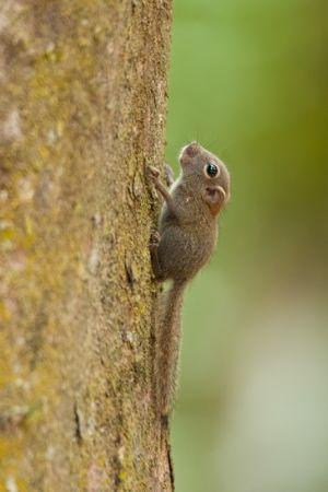 Plain Pygmy squirrel, Kinabatangan River