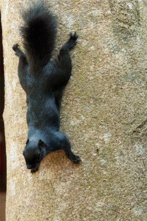 Prevost's squirrel, Kinabatangan River