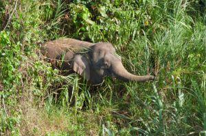 Borneo Pygmy elephant, Kinabatangan River