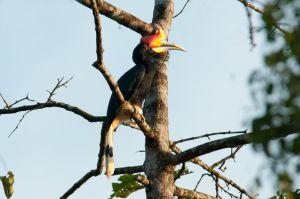 Rhinoceros hornbill, Kinabatangan River