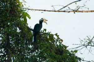 Black hornbill, Kinabatangan River