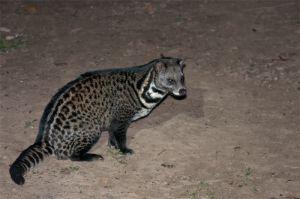 Malay civet, Kinabatangan River