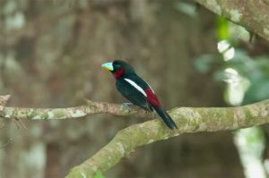 Black and Red broadbill, Gomantong Caves