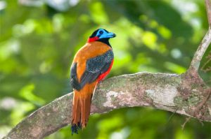 Red-naped trogon, Gomantong Caves
