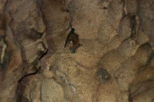 Acuminate Horseshoe bat, Gomantong Cave