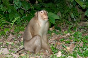 Pig tailed macaque, Gomantong Caves